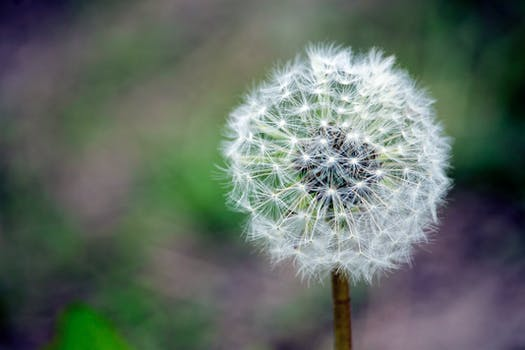 Closed Up Photograph Of Dandelion Seeds 183 Free Stock Photo
