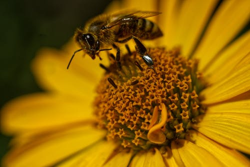 Honeybee Perched on Yellow Flower in Close Up Photography