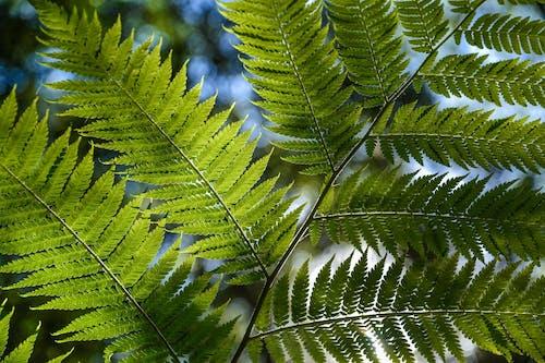 Darmowe zdjęcie z galerii z liście paproci, listowie, naturalny, paproć
