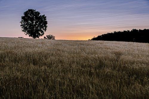 Imagine de stoc gratuită din câmp de orz, răsărit, zori