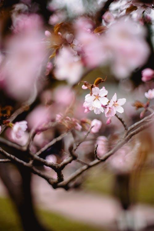 Ingyenes stockfotó ág, almavirág, bimbó, cseresznye témában