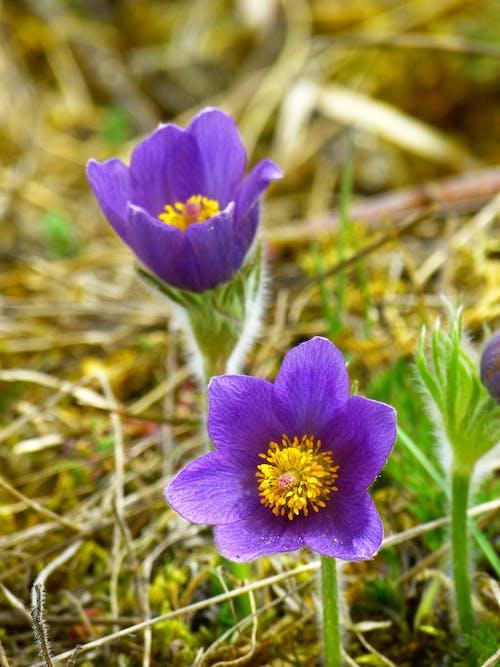 Foto d'estoc gratuïta de blau, flor, florir, flors