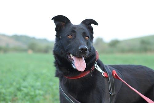 Free stock photo of Animals And Pets, black dog, german sheperd, romanian