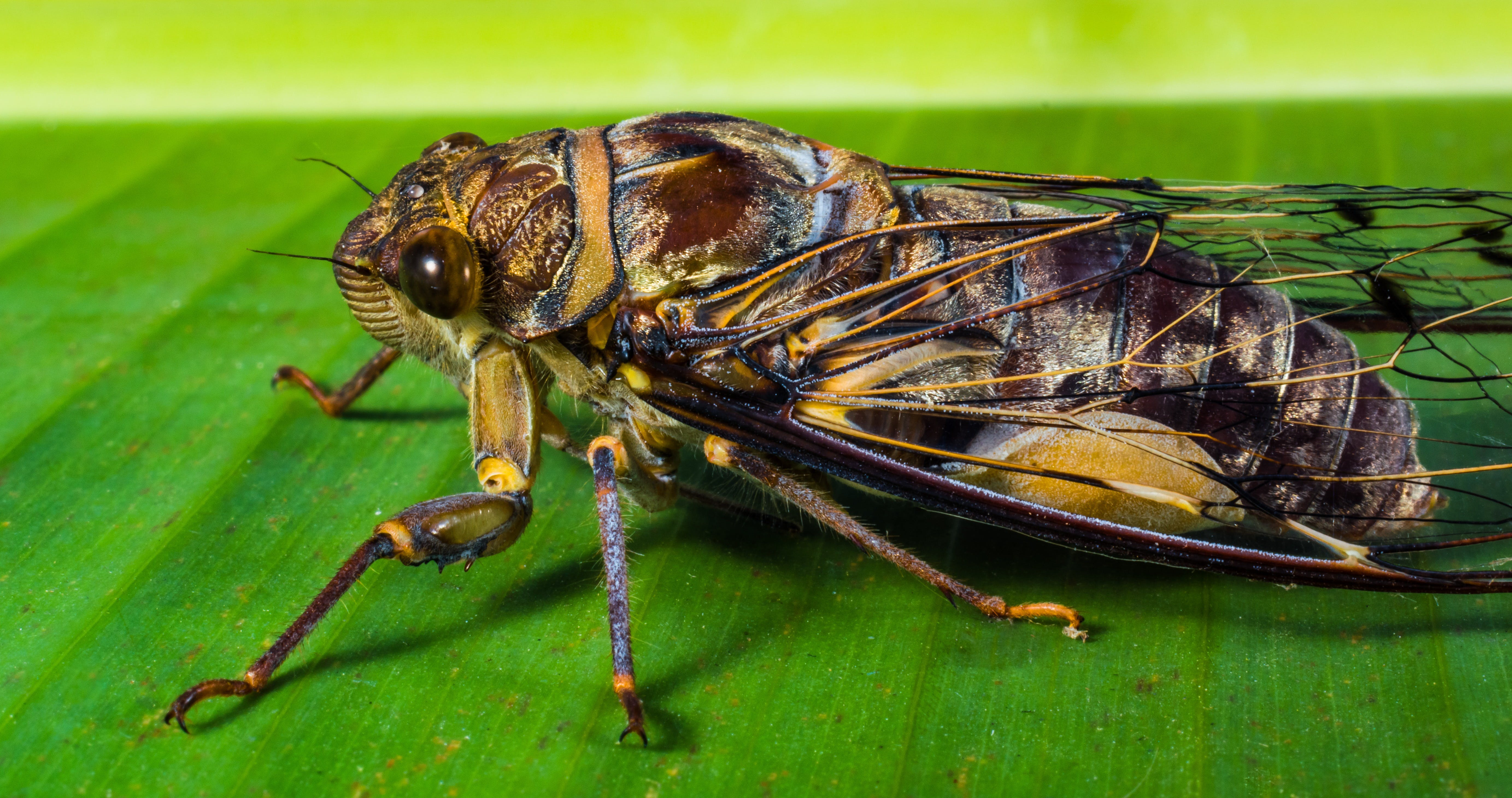 Brown and Black Cicada Perching on Green Leaf