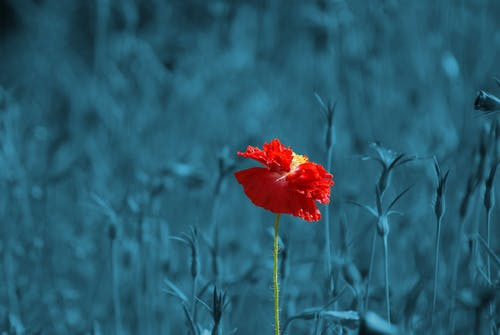 Foto d'estoc gratuïta de color pass, flor, natura, papaver
