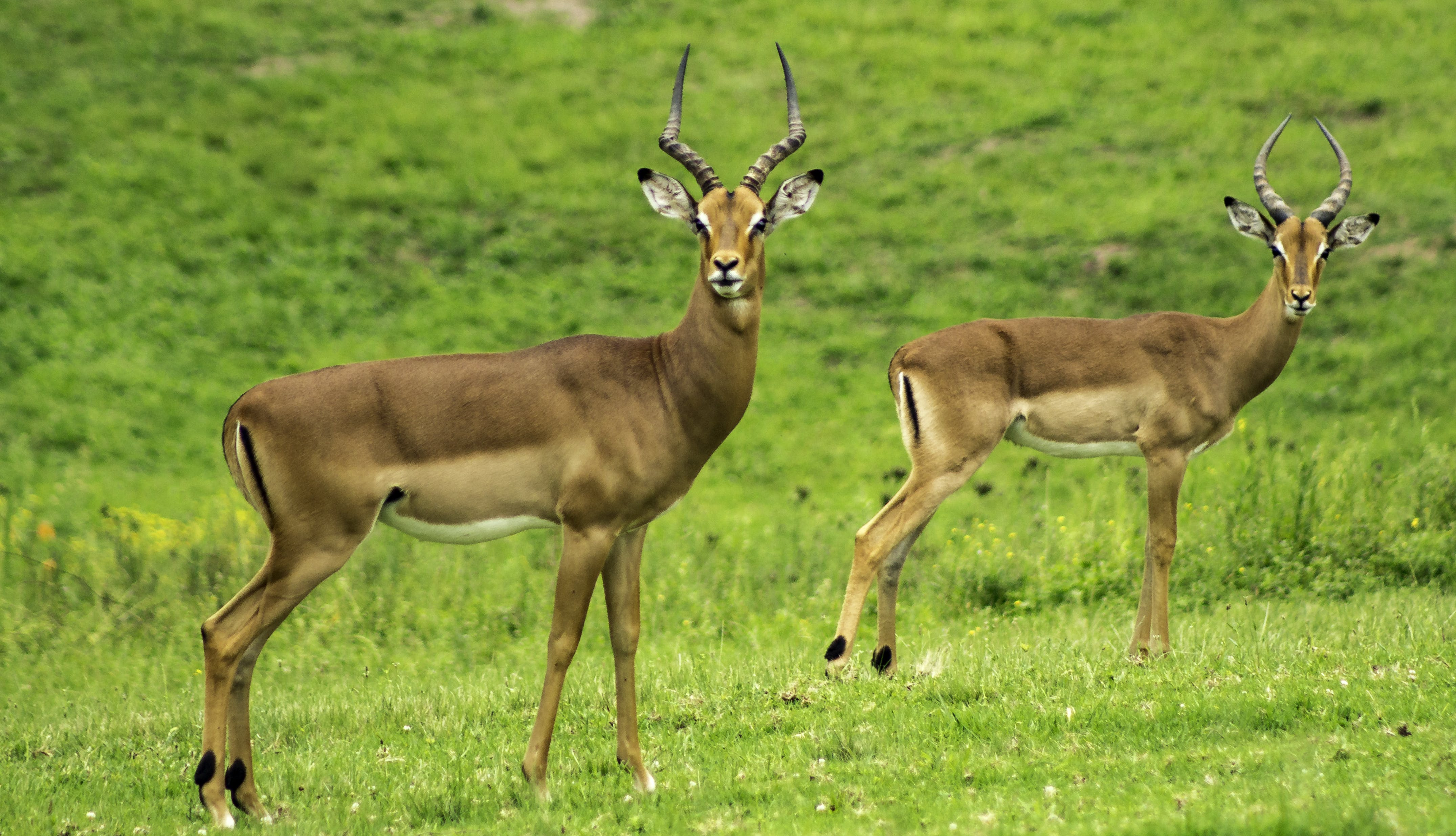 Two Brown Deer