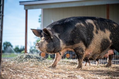 Big domestic pig in enclosure