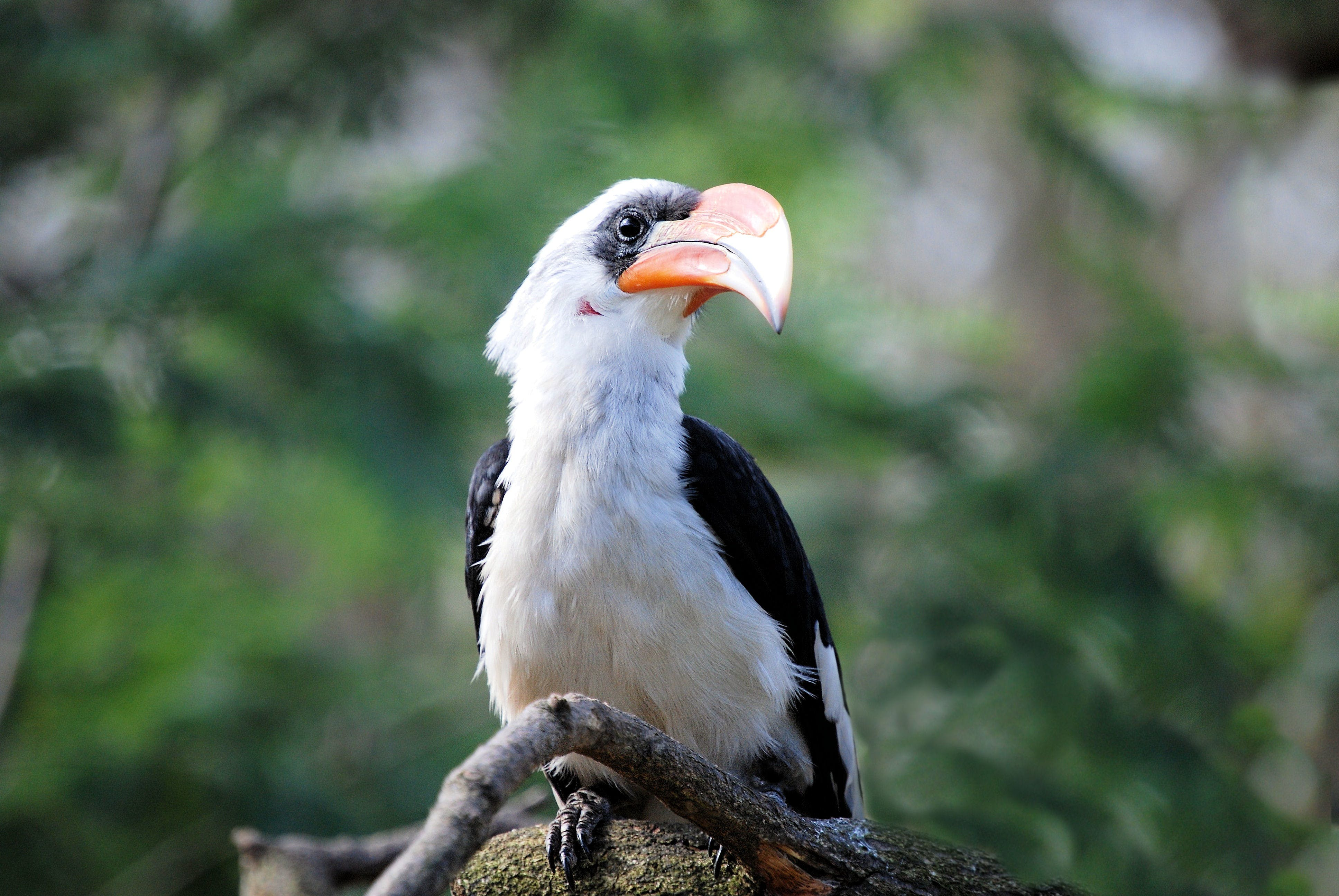 White and Black Toucan Bird Perched on Tree Branch