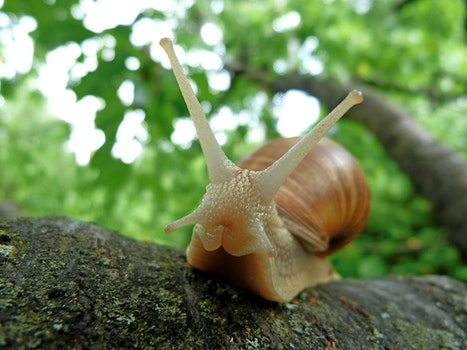 Brown Snail on Tree Branch