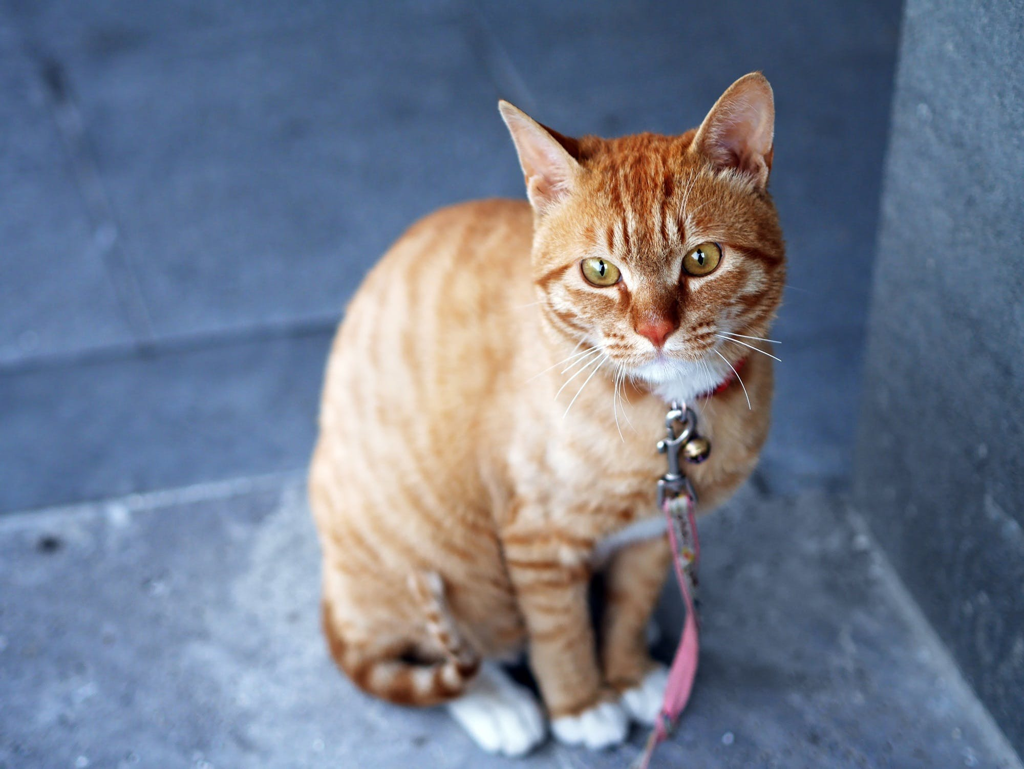 Orange Tabby Cat With Pink Leash