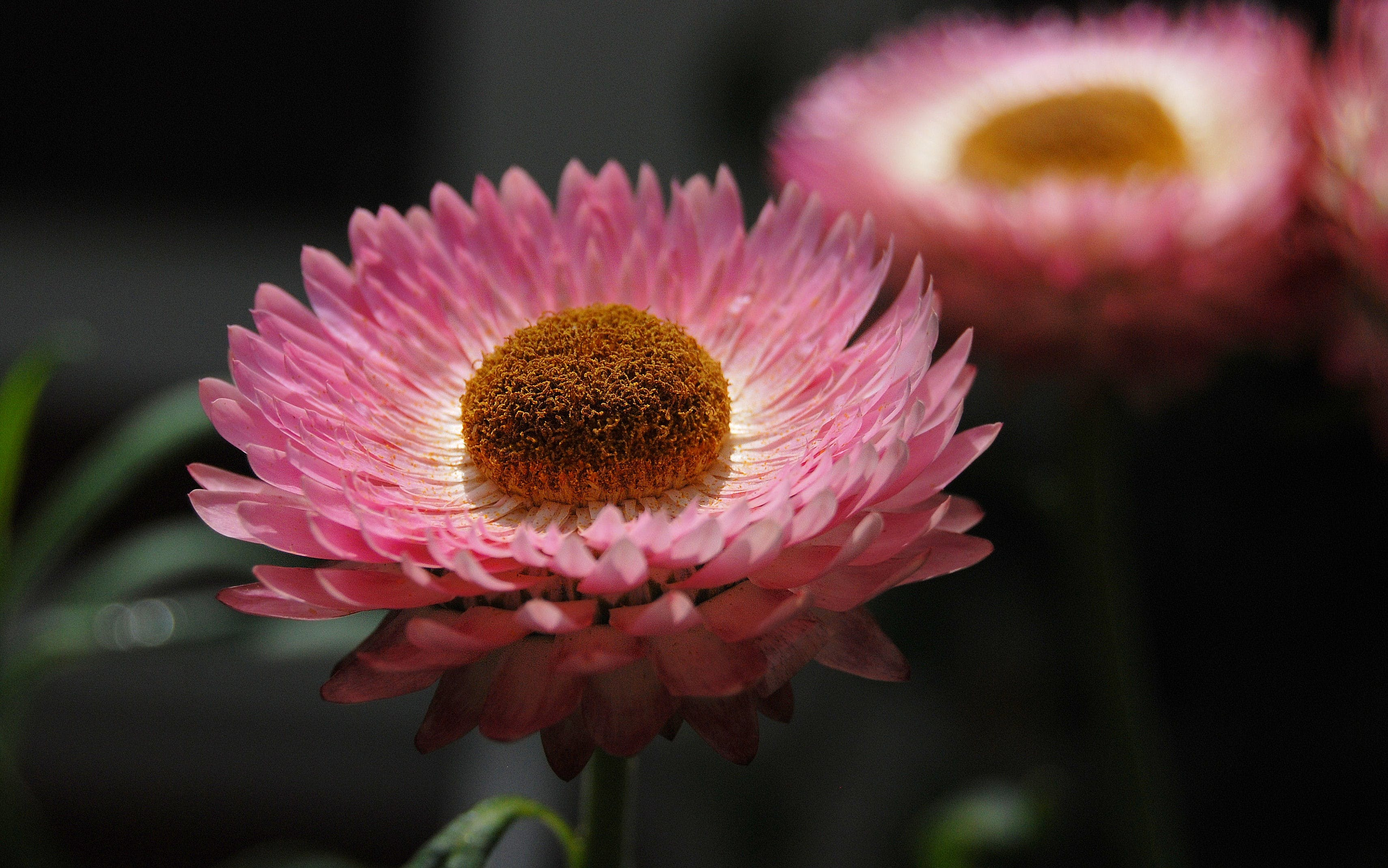 Pink and White Multi Layer Petal Flower