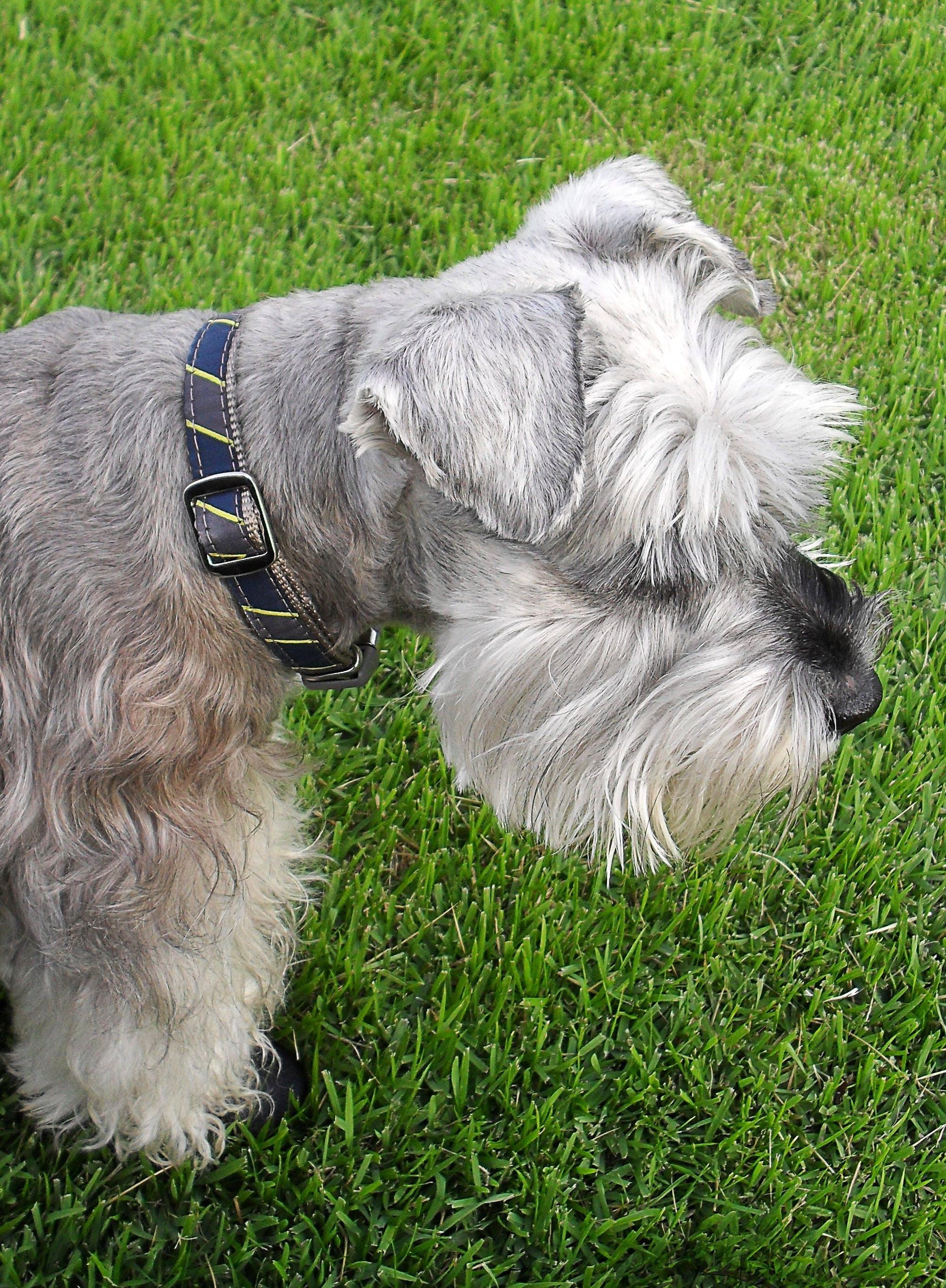 White and Grey Long Coat Dog