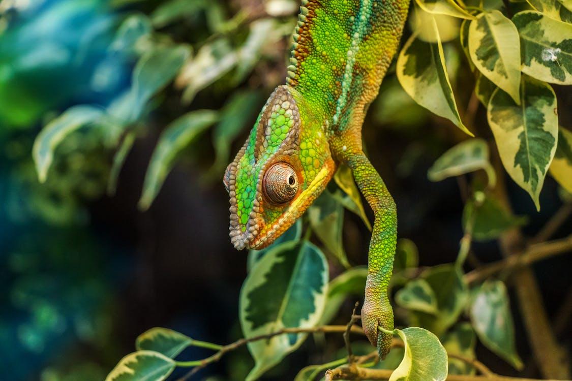 Groene Kameleon Op Groene Bladboom