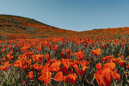 Meadow of vibrant red delicate flowers near slope under light blue cloudless sky