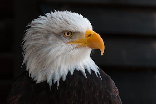 göz, hayvan, kel kartal, kuş tüyleri içeren Ücretsiz stok fotoğraf