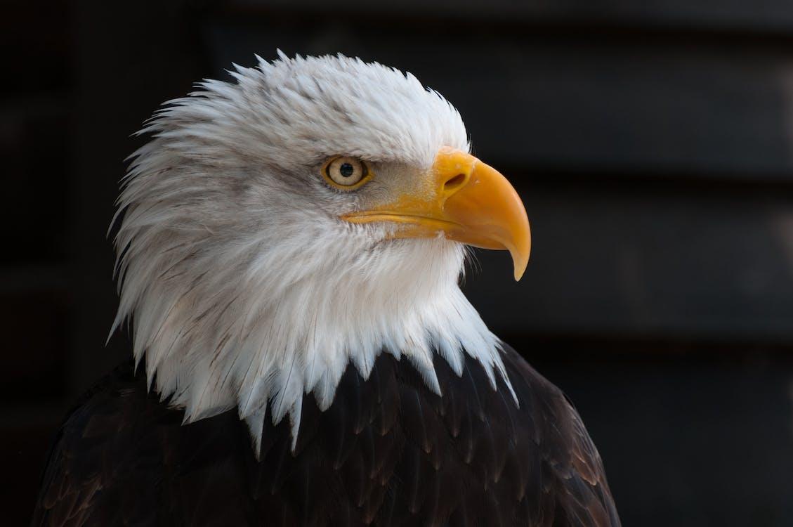 Close Photography of Bald Eagle