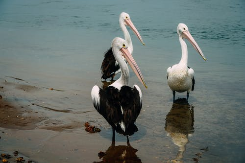 Pelicans on coast of silent reservoir
