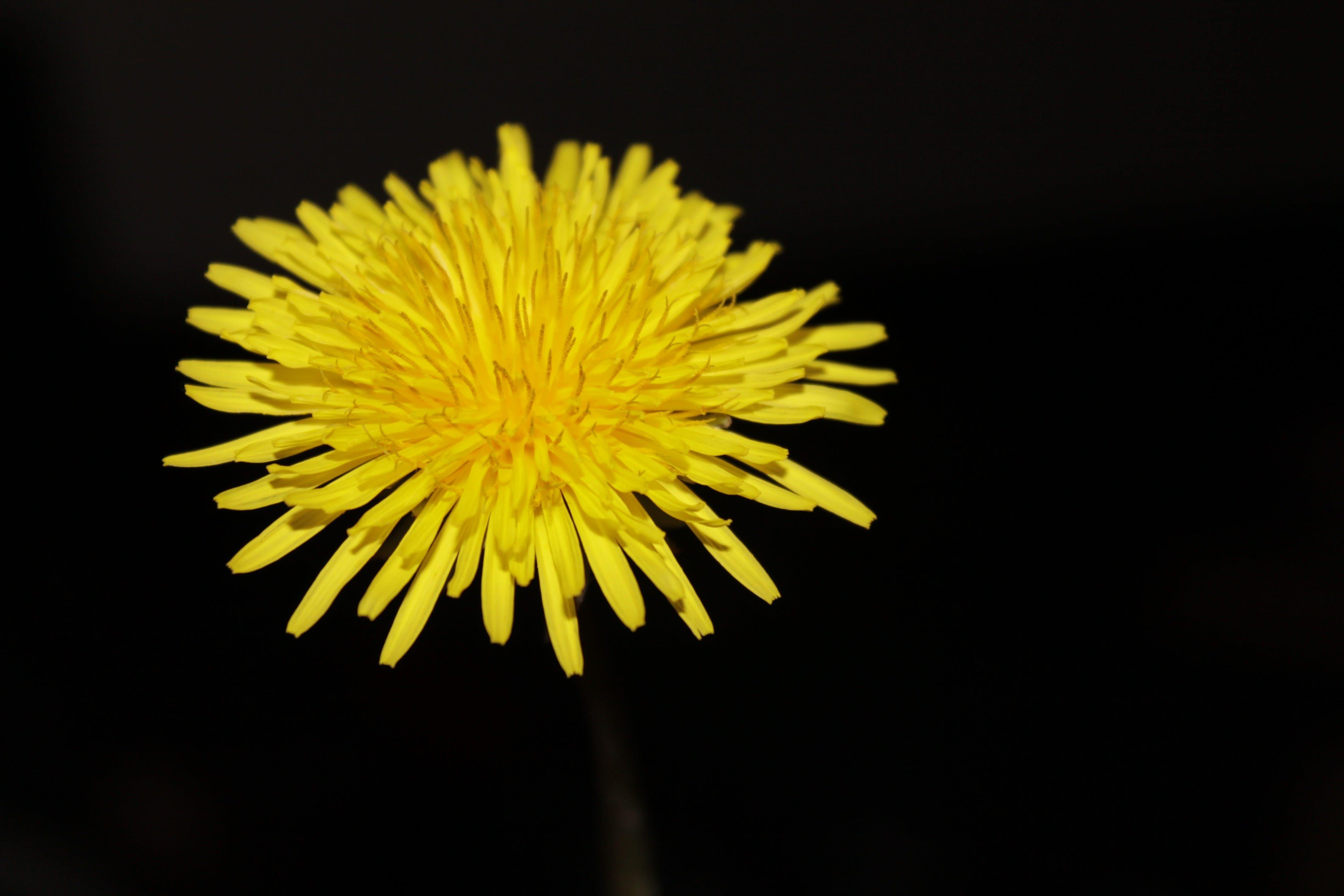 Foto profissional grátis de amarelo, broto, dente-de-leão, flor