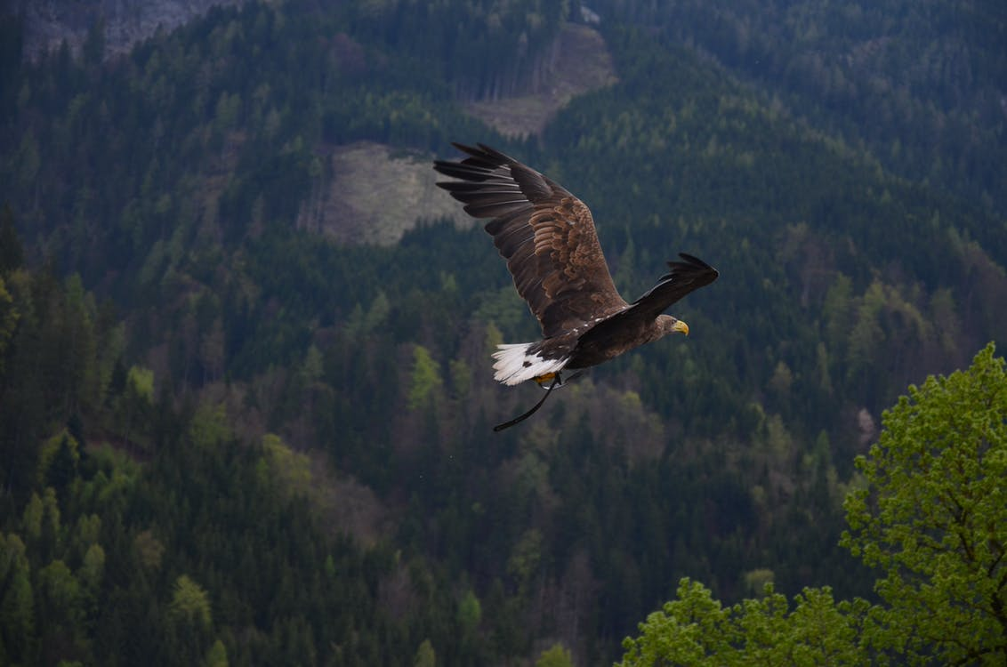 Brown and Black Flying Hawk