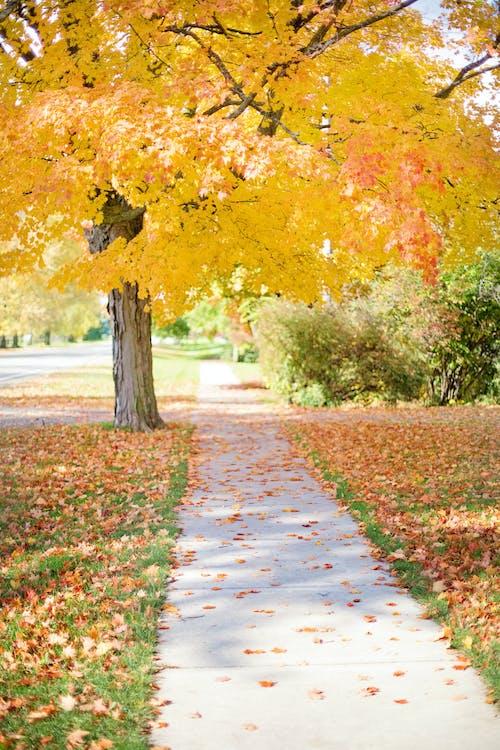 Immagine gratuita di acero, alberi, albero, autunno
