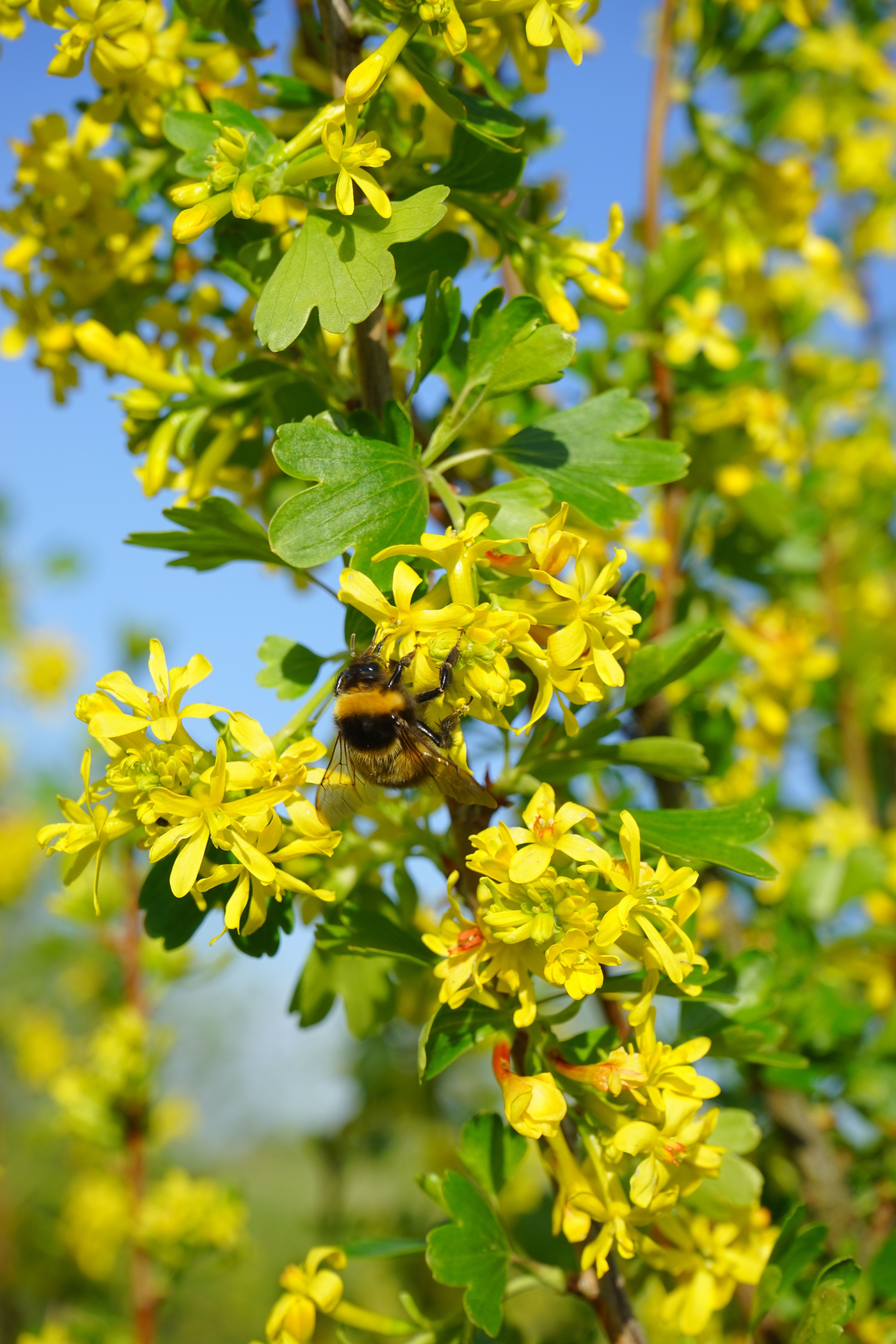 Free Stock Photo Of Branch Bush Currant