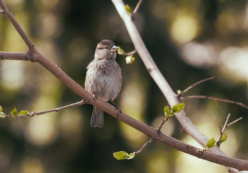 House sparrow on tree twig in park