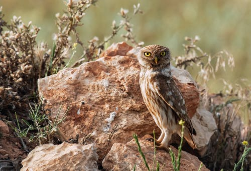 Predatory bird with ornamental plumage and focused gaze standing on rough stones near flowers and looking at camera