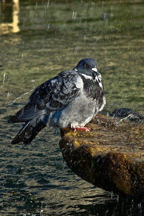 Foto profissional grátis de água, chuva, molhado, pombo