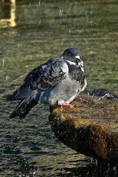 Black White Pigeon
