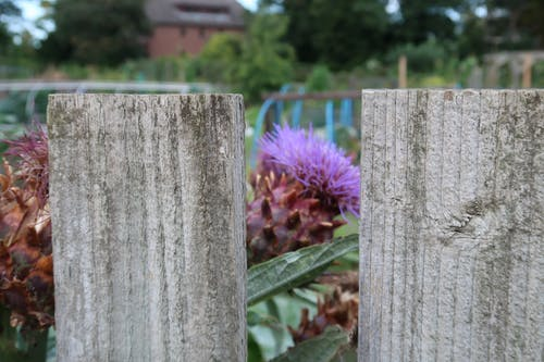 Free stock photo of allotment, Community garden, fence, food plants