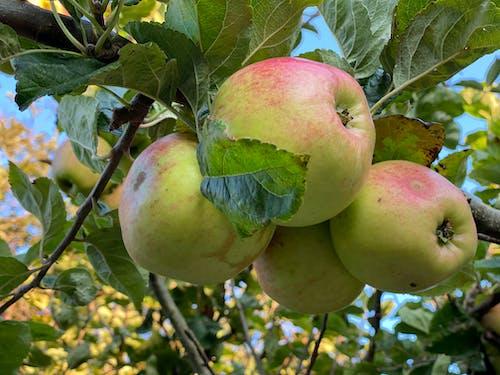 Free stock photo of apple, apple fruit, autumn color