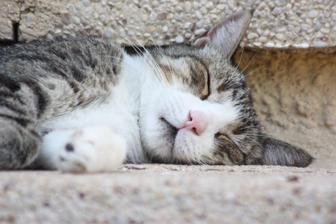 Free stock photo of domestic cat