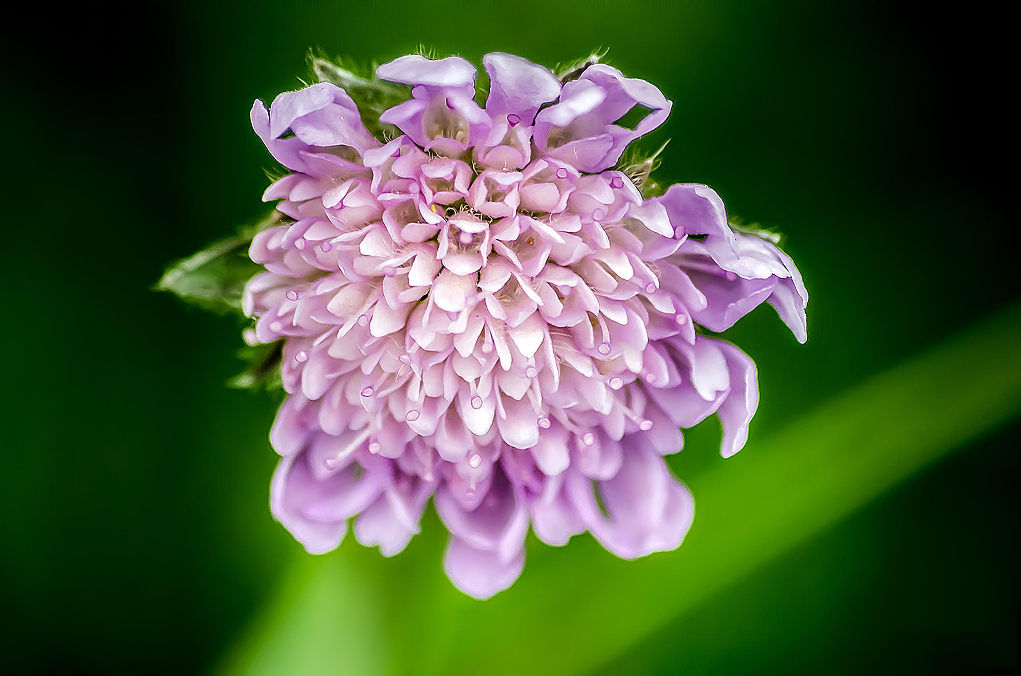 Foto profissional grátis de broto, cor, dipsacoideae, flor