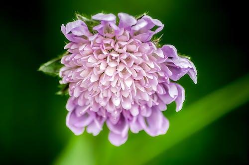 Ảnh lưu trữ miễn phí về bệnh ghẻ, dipsacoideae, hoa, hoa pinc muff