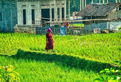 Woman in Red Dress Walking on Green Rice Field