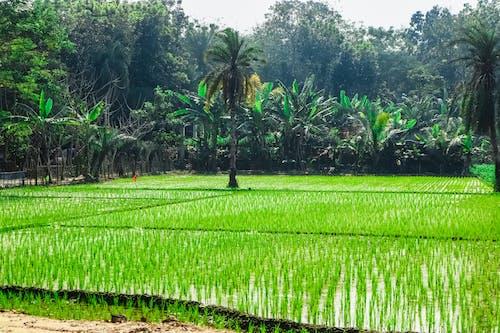 Fotobanka sbezplatnými fotkami na tému bangladéš, dedinský, farma, flóra