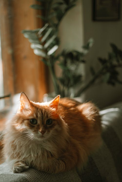Orange and White Long Fur Cat on Brown Wooden Table