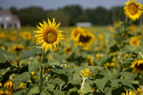 Бесплатное стоковое фото с agbiopix, желтый, подсолнечник, сельское хозяйство