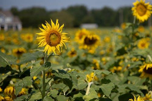 Photos gratuites de agbiopix, agriculture, jaune, tournesol