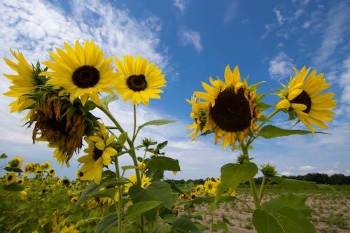 Бесплатное стоковое фото с agbiopix, желтый, небо, подсолнухи