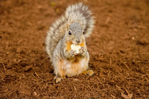 Gray Squirrel on Brown Soil