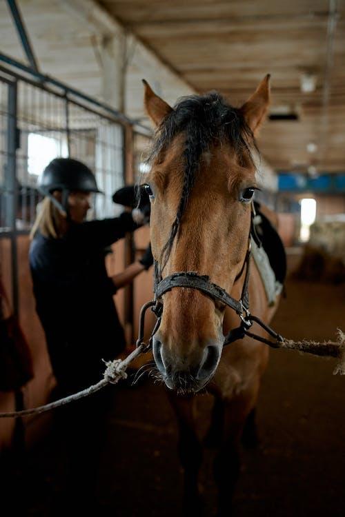 Paardensnuit In De Buurt Van Onherkenbare Vrouwelijke Jockey In Stal