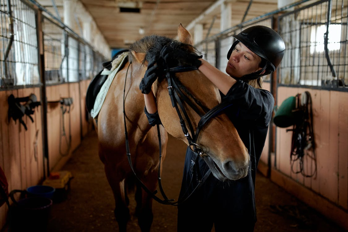 Young horsewoman in helmet and gloves tying bridle of adorable purebred bay dun horse standing in stable in countryside