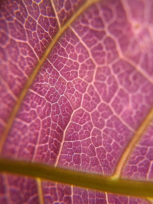Violet textured leaf of plant with veins
