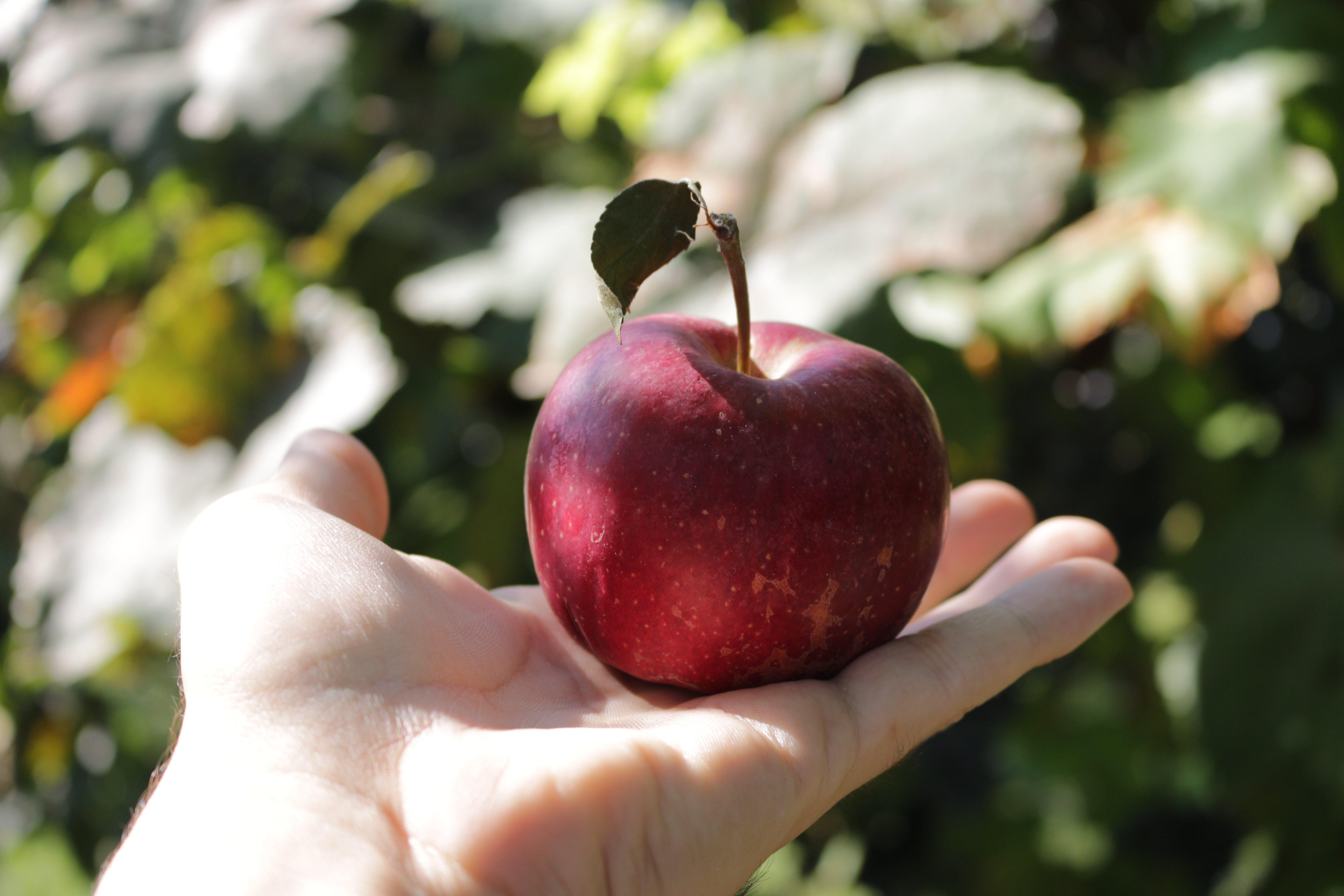 Free stock photo of apple, food, fresh, fruit