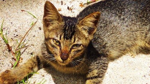 Free stock photo of animal photography, Anupam Biswas, beautiful, cat