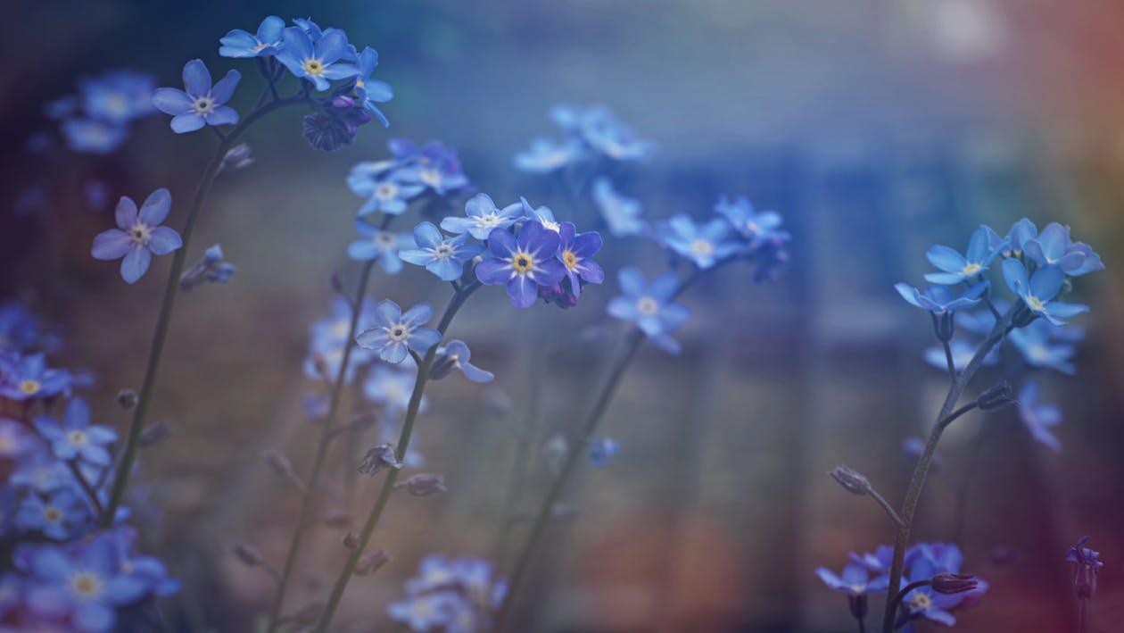 Kostenloses Stock Foto zu blatt, blau, blauen blüten