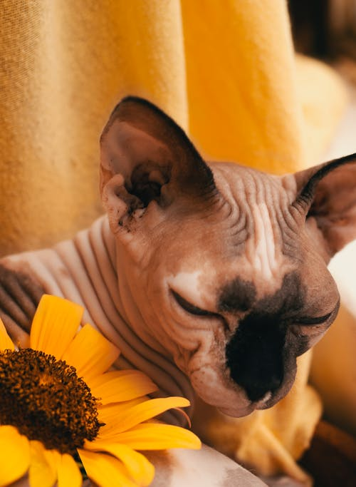 Adorable Sphynx cat sleeping near bright sunflower at home