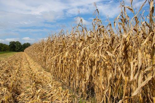 Бесплатное стоковое фото с agbiopix, кукуруза, поле, сельское хозяйство