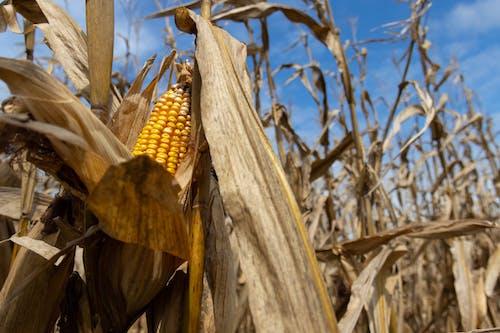 Бесплатное стоковое фото с agbiopix, желтый, кукуруза, сельское хозяйство